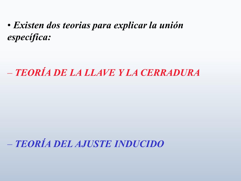 Existen dos teorias para explicar la unión específica: – TEORÍA DE LA LLAVE Y LA CERRADURA – TEORÍA DEL AJUSTE INDUCIDO