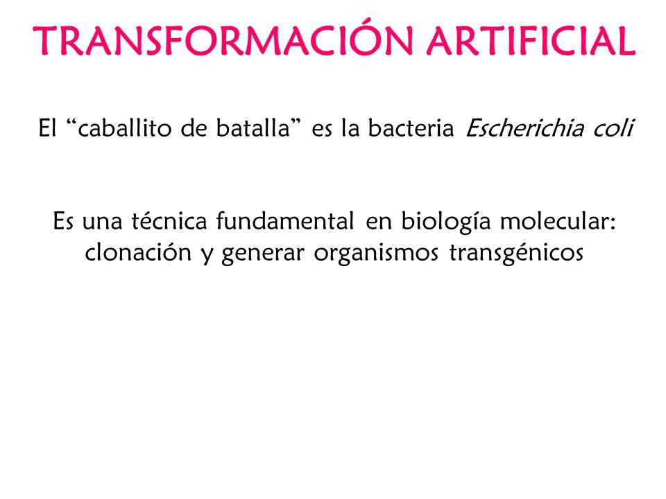 TRANSFORMACIÓN ARTIFICIAL El caballito de batalla es la bacteria Escherichia coli Es una técnica fundamental en biología molecular: clonación y genera