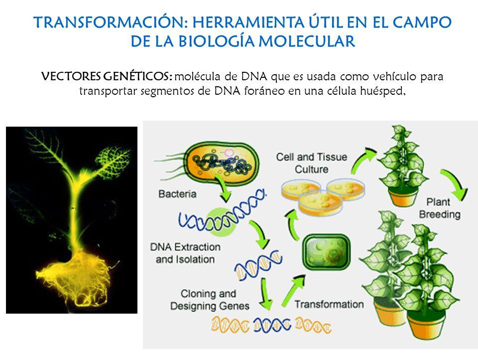 TRANSFORMACIÓN: HERRAMIENTA ÚTIL EN EL CAMPO DE LA BIOLOGÍA MOLECULAR VECTORES GENÉTICOS: molécula de DNA que es usada como vehículo para transportar
