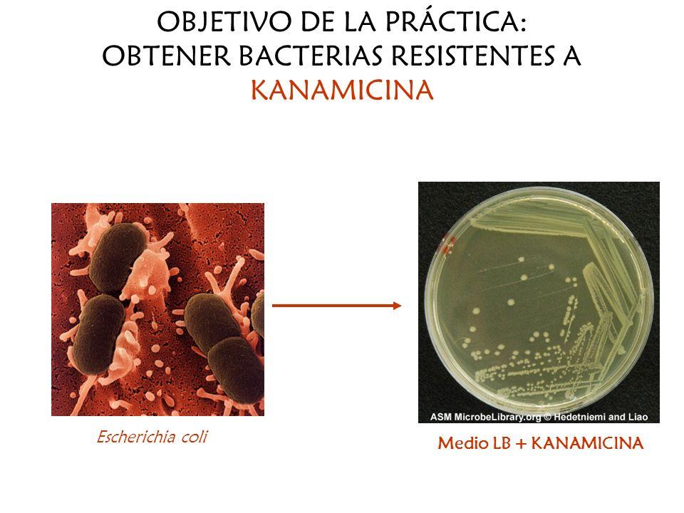 OBJETIVO DE LA PRÁCTICA: OBTENER BACTERIAS RESISTENTES A KANAMICINA Medio LB + KANAMICINA Escherichia coli