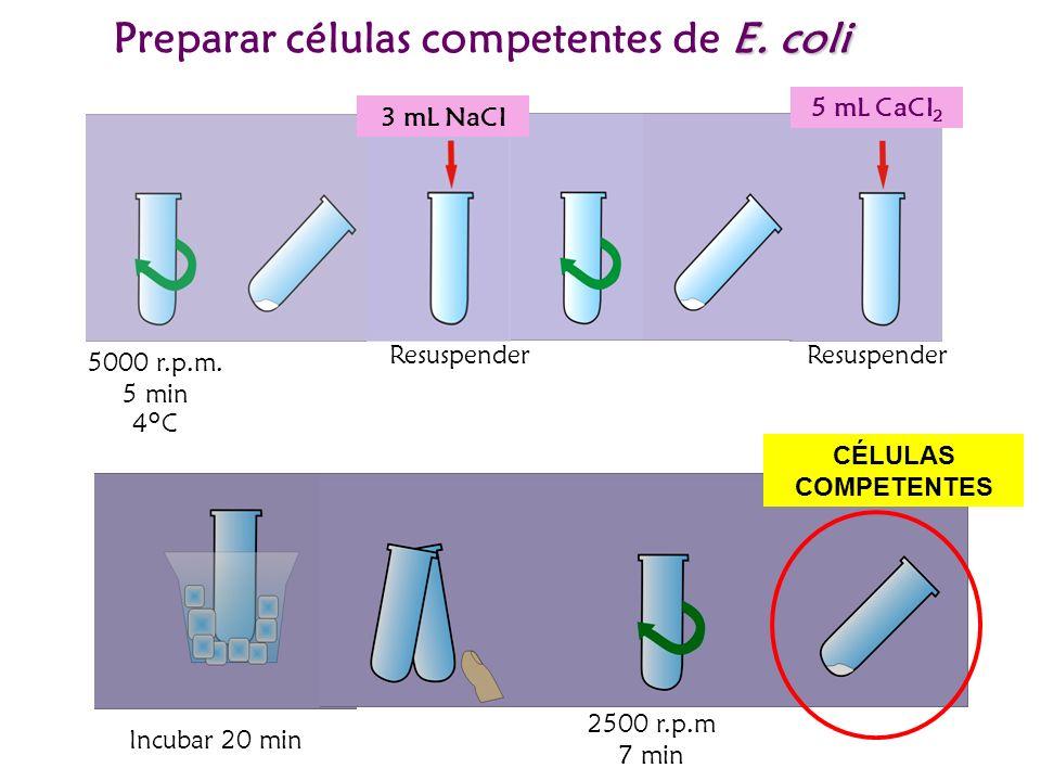 5000 r.p.m. 5 min 4°C 3 mL NaCl Resuspender 5 mL CaCl 2 Resuspender E. coli Preparar células competentes de E. coli Incubar 20 min 2500 r.p.m 7 min CÉ