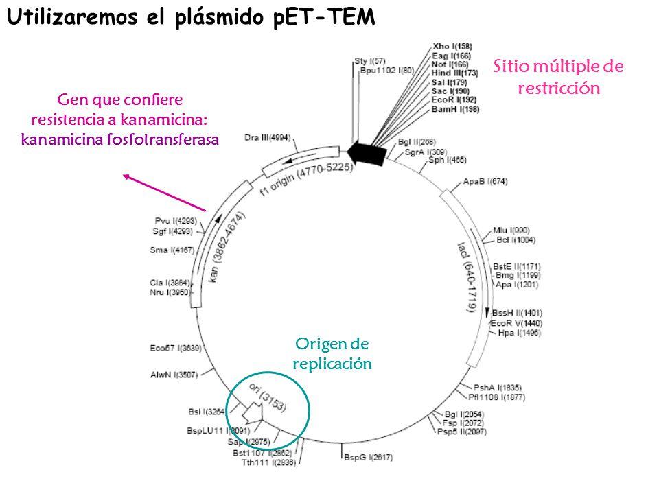 Utilizaremos el plásmido pET-TEM Sitio múltiple de restricción Origen de replicación Gen que confiere resistencia a kanamicina: kanamicina fosfotransf