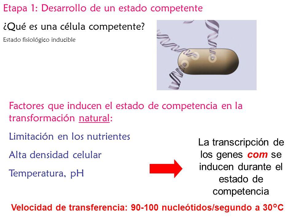 La transcripción de los genes com se inducen durante el estado de competencia