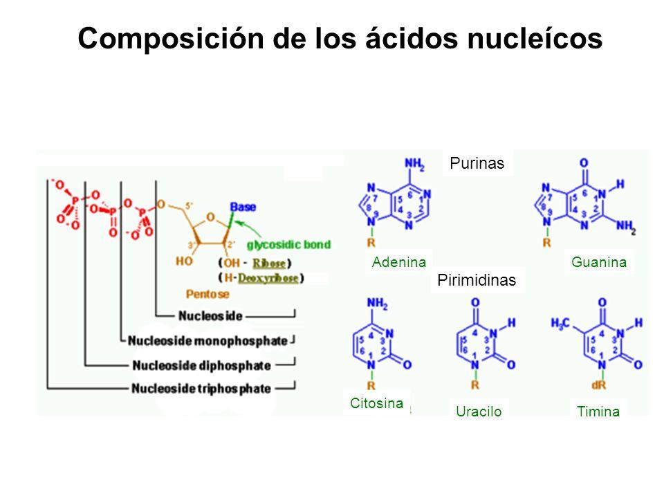 Composición de los ácidos nucleícos Purinas Pirimidinas AdeninaGuanina Citosina UraciloTimina