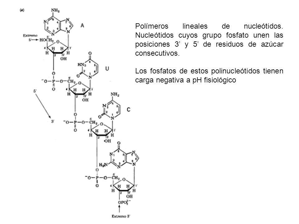 Polímeros lineales de nucleótidos. Nucleótidos cuyos grupo fosfato unen las posiciones 3 y 5 de residuos de azúcar consecutivos. Los fosfatos de estos