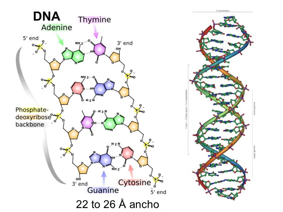 Factor F Elemento en plásmido que le confiere la capacidad de ser transferido de una bacteria que lo posee a una bacteria que carece de este factor por conjugación.