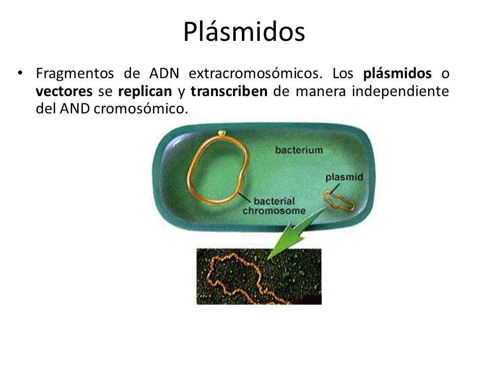 Plásmidos Fragmentos de ADN extracromosómicos. Los plásmidos o vectores se replican y transcriben de manera independiente del AND cromosómico.