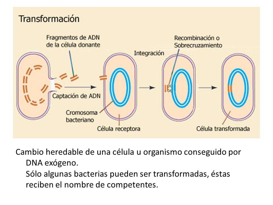 Cambio heredable de una célula u organismo conseguido por DNA exógeno. Sólo algunas bacterias pueden ser transformadas, éstas reciben el nombre de com