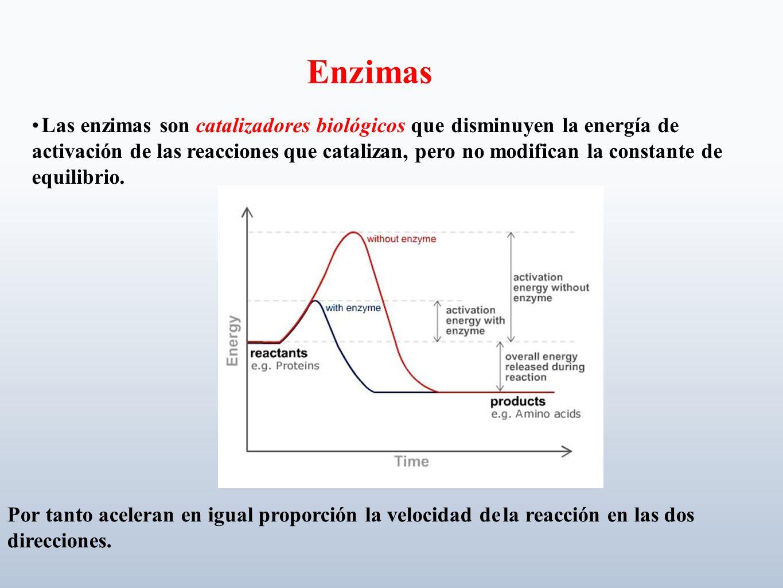 Unión específica La(s) molécula(s) que va(n) a reaccionar, sustrato(s), se unen a una región en la superficie de la enzima llamada sitio activo.