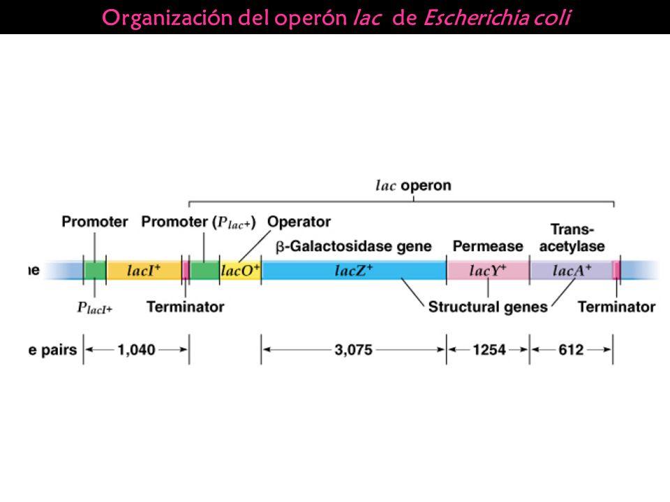 Organización del operón lac de Escherichia coli