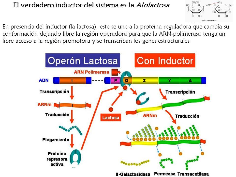 El verdadero inductor del sistema es la Alolactosa En presencia del inductor (la lactosa), este se une a la proteína reguladora que cambia su conforma