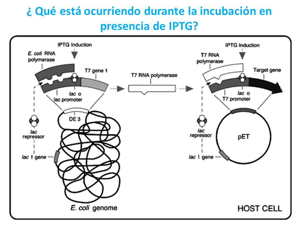 ¿ Qué está ocurriendo durante la incubación en presencia de IPTG?