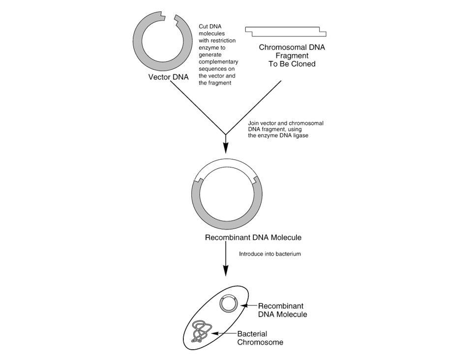 Aspectos generales sobre la producción de proteínas recombinantes 1.Identificación y clonación del gen de interés.