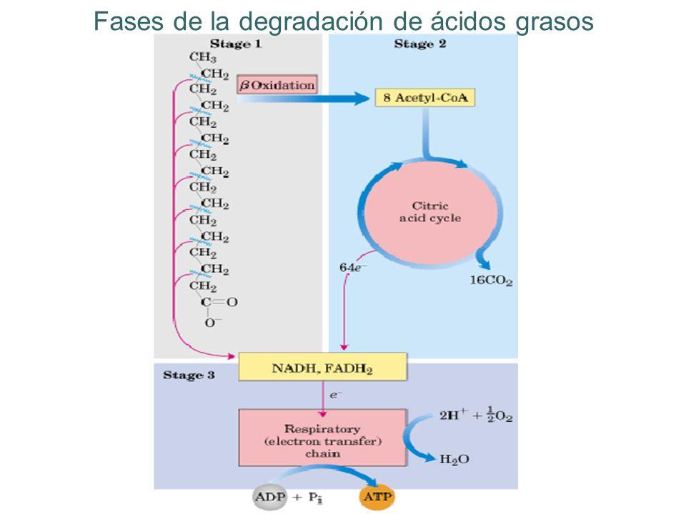 Fases de la degradación de ácidos grasos