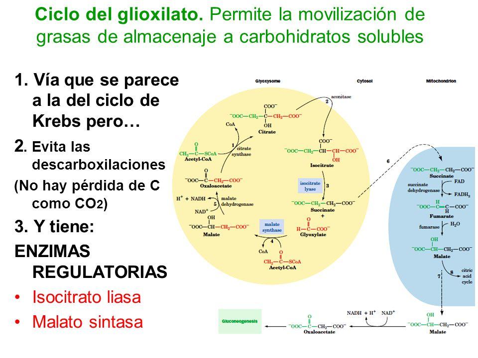 Ciclo del glioxilato. Permite la movilización de grasas de almacenaje a carbohidratos solubles 1. Vía que se parece a la del ciclo de Krebs pero… 2. E