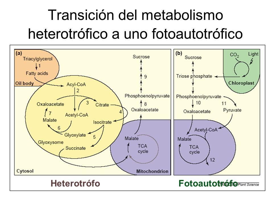Transición del metabolismo heterotrófico a uno fotoautotrófico Heterotrófo Fotoautotrófo