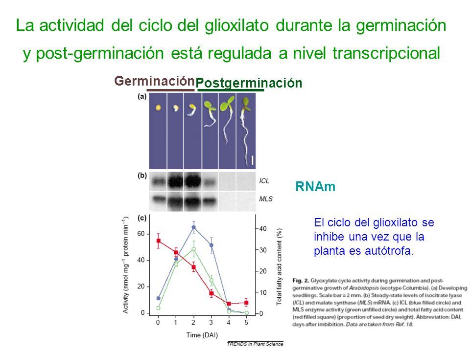 La actividad del ciclo del glioxilato durante la germinación y post-germinación está regulada a nivel transcripcional Germinación Postgerminación RNAm
