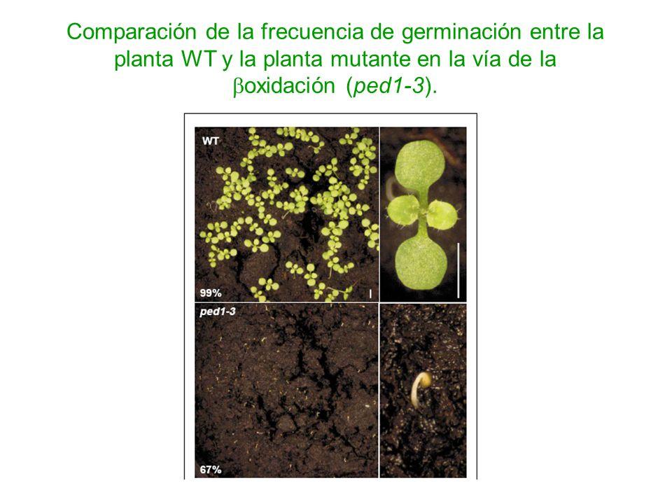 Comparación de la frecuencia de germinación entre la planta WT y la planta mutante en la vía de la oxidación (ped1-3).