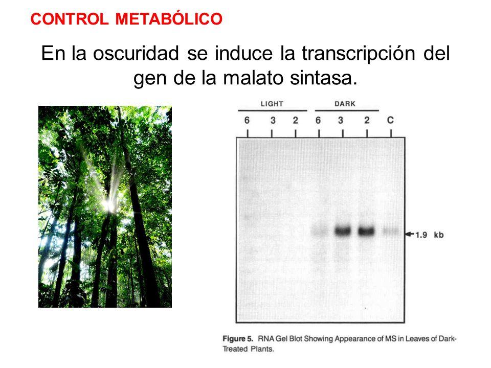 En la oscuridad se induce la transcripción del gen de la malato sintasa. CONTROL METABÓLICO