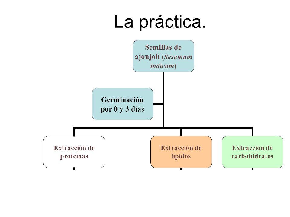 La práctica. Semillas de ajonjolí (Sesamum indicum) Extracción de proteínas Determinación de proteínas: Bradford Medición de actividad enzimática: Mal