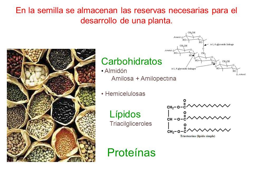 En la semilla se almacenan las reservas necesarias para el desarrollo de una planta. Carbohidratos Almidón Amilosa + Amilopectina Hemicelulosas Lípido