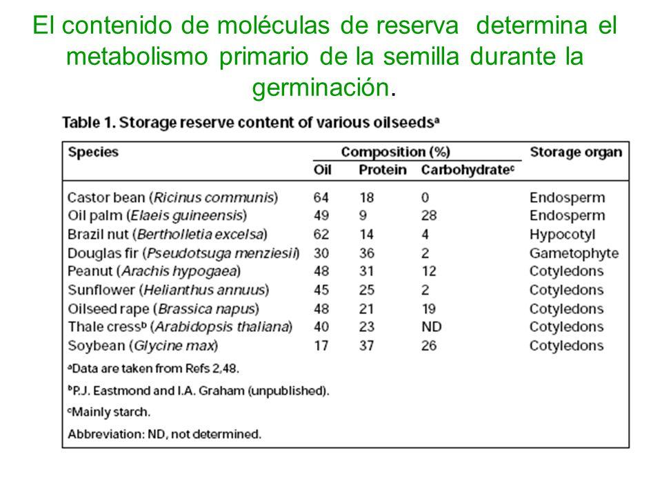 El contenido de moléculas de reserva determina el metabolismo primario de la semilla durante la germinación.