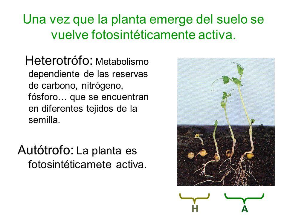 Una vez que la planta emerge del suelo se vuelve fotosintéticamente activa. Heterotrófo: Metabolismo dependiente de las reservas de carbono, nitrógeno