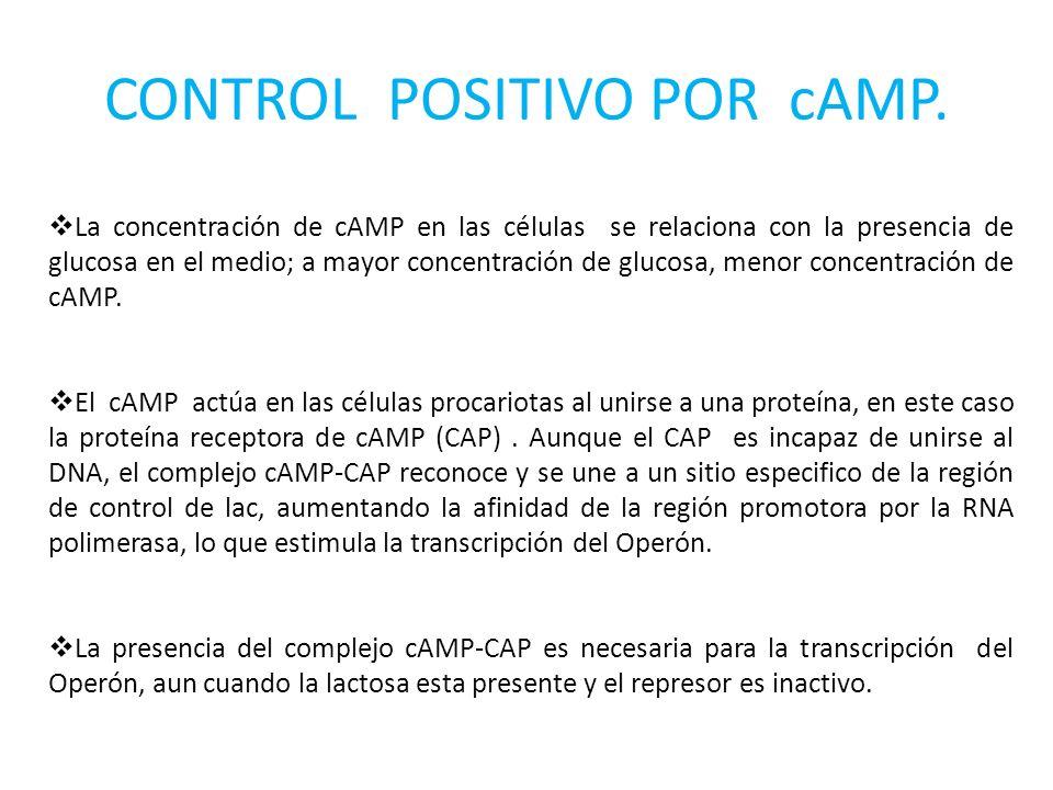 CONTROL POSITIVO POR cAMP. La concentración de cAMP en las células se relaciona con la presencia de glucosa en el medio; a mayor concentración de gluc