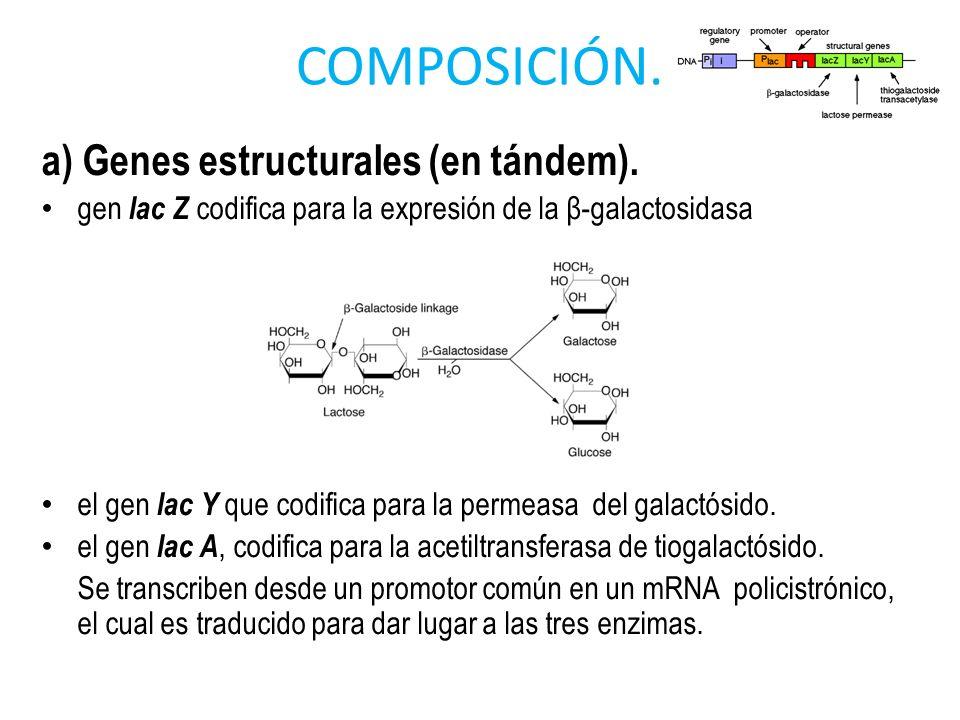 COMPOSICIÓN. a) Genes estructurales (en tándem). gen lac Z codifica para la expresión de la β-galactosidasa el gen lac Y que codifica para la permeasa