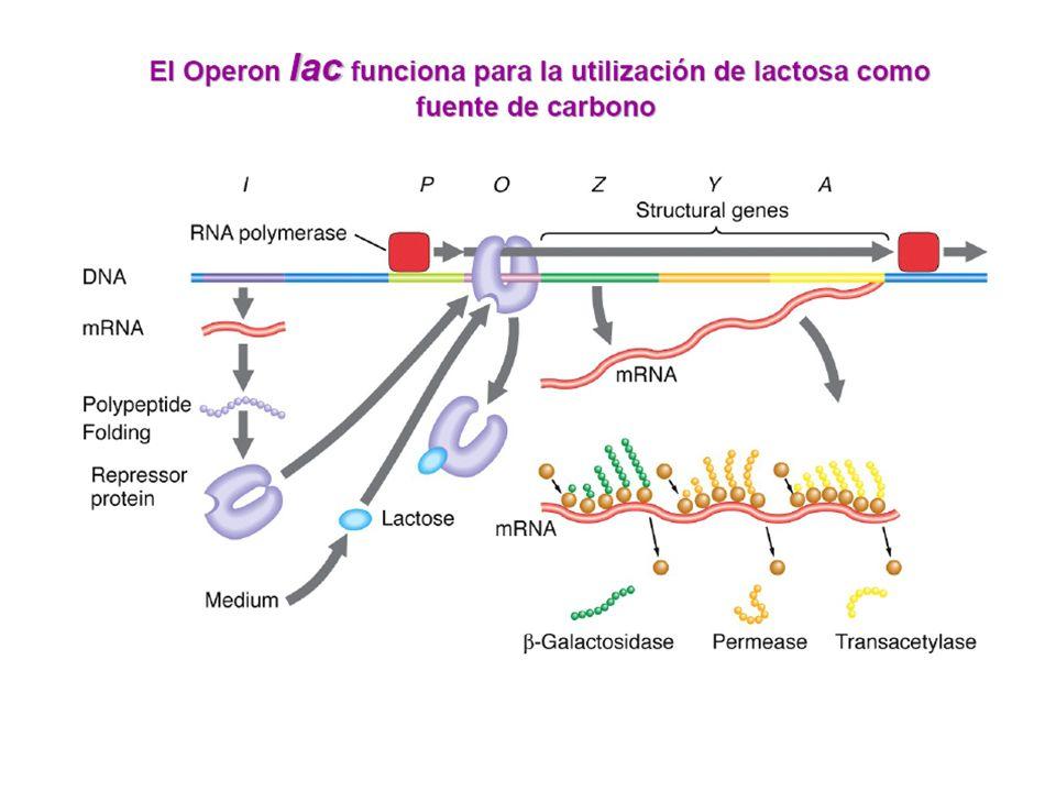 En este tipo de operador inducible como lac, la proteína represora sólo puede unirse al DNA en ausencia de lactosa, que funciona como un INDUCTOR.