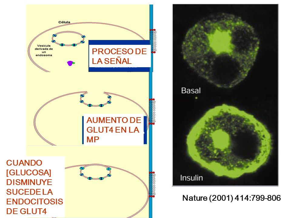 PROCESO DE LA SEÑAL AUMENTO DE GLUT4 EN LA MP CUANDO [GLUCOSA] DISMINUYE SUCEDE LA ENDOCITOSIS DE GLUT4 Nature (2001) 414:799-806
