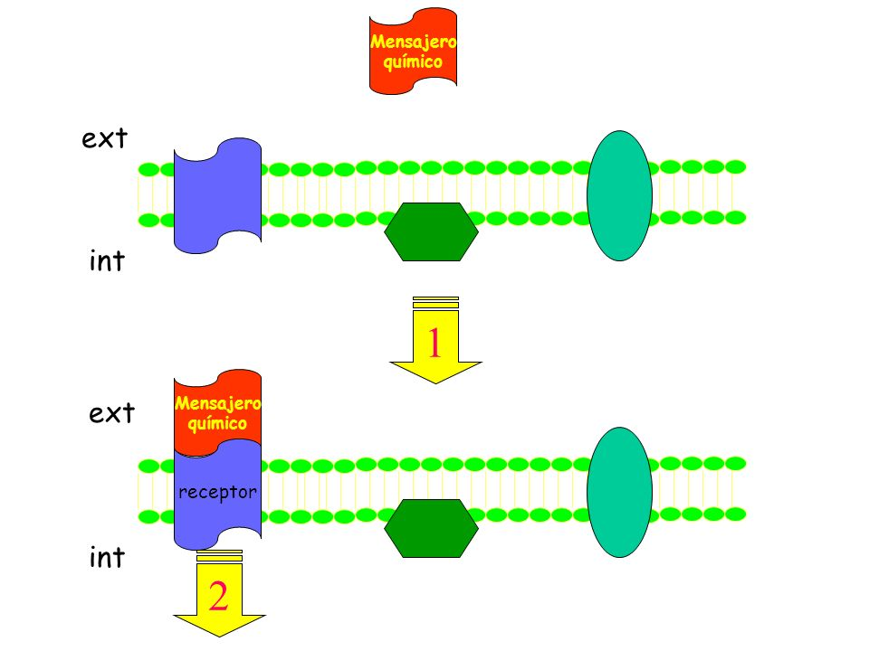 ext int Mensajero químico receptor Mensajero químico ext int 1 2