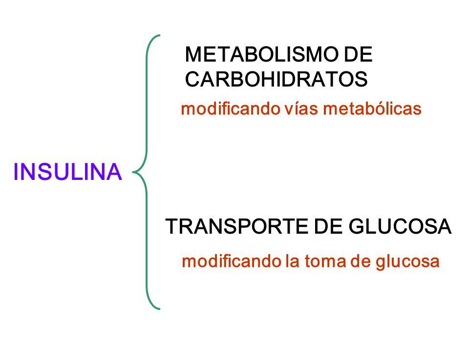 INSULINA METABOLISMO DE CARBOHIDRATOS TRANSPORTE DE GLUCOSA modificando vías metabólicas modificando la toma de glucosa
