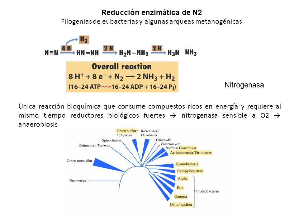 Reducción enzimática de N2 Filogenias de eubacterias y algunas arqueas metanogénicas Nitrogenasa Única reacción bioquímica que consume compuestos rico