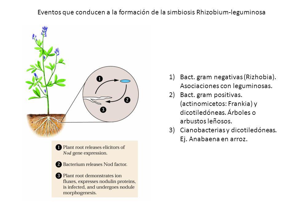 Eventos que conducen a la formación de la simbiosis Rhizobium-leguminosa 1)Bact. gram negativas (Rizhobia). Asociaciones con leguminosas. 2)Bact. gram