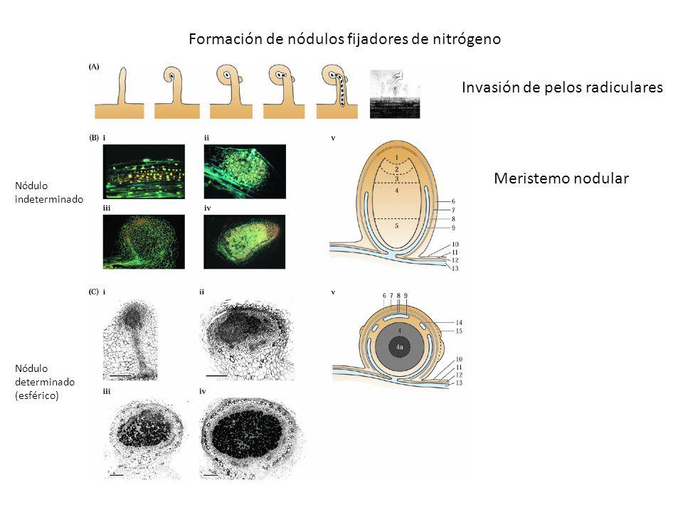 Formación de nódulos fijadores de nitrógeno Invasión de pelos radiculares Nódulo indeterminado Meristemo nodular Nódulo determinado (esférico)