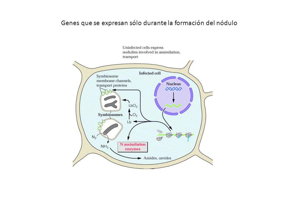 Genes que se expresan sólo durante la formación del nódulo