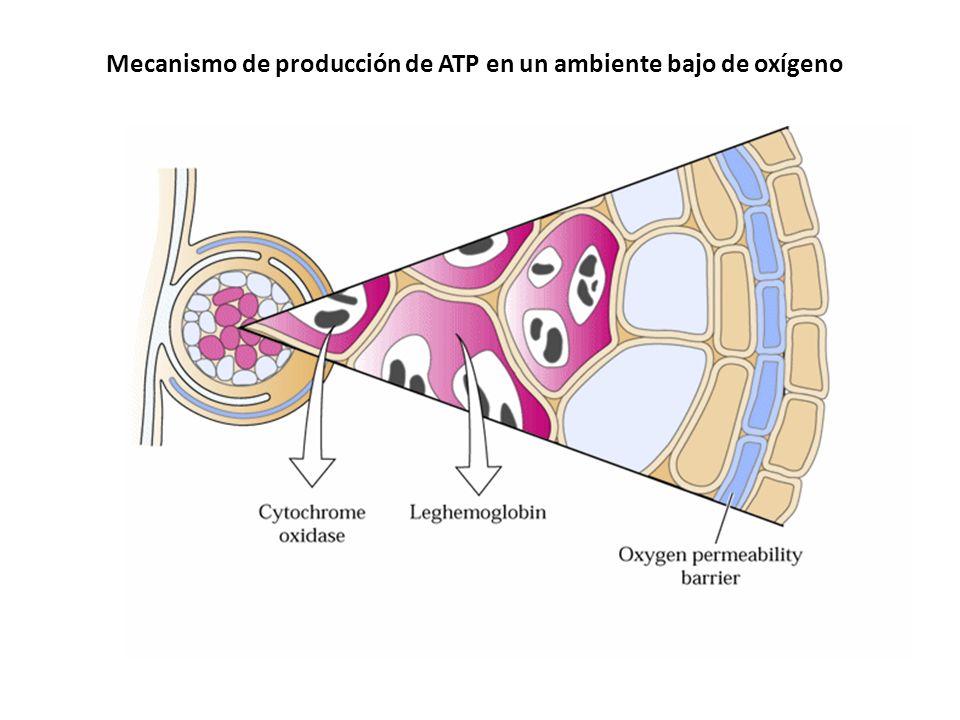 Mecanismo de producción de ATP en un ambiente bajo de oxígeno