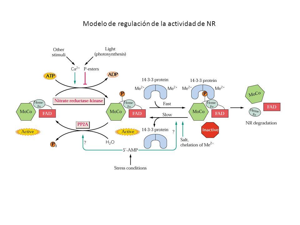 Modelo de regulación de la actividad de NR