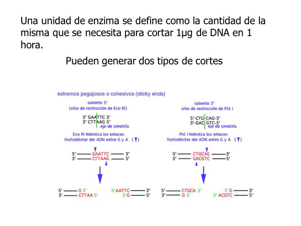Una unidad de enzima se define como la cantidad de la misma que se necesita para cortar 1µg de DNA en 1 hora. Pueden generar dos tipos de cortes