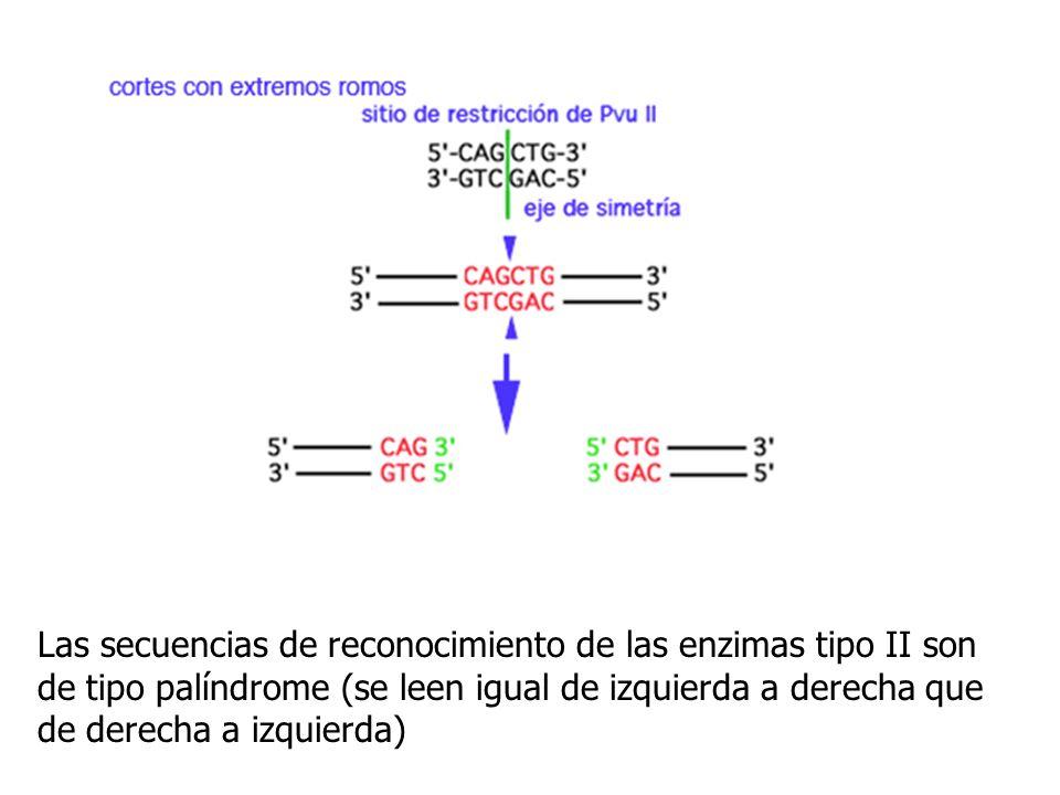 Las secuencias de reconocimiento de las enzimas tipo II son de tipo palíndrome (se leen igual de izquierda a derecha que de derecha a izquierda)