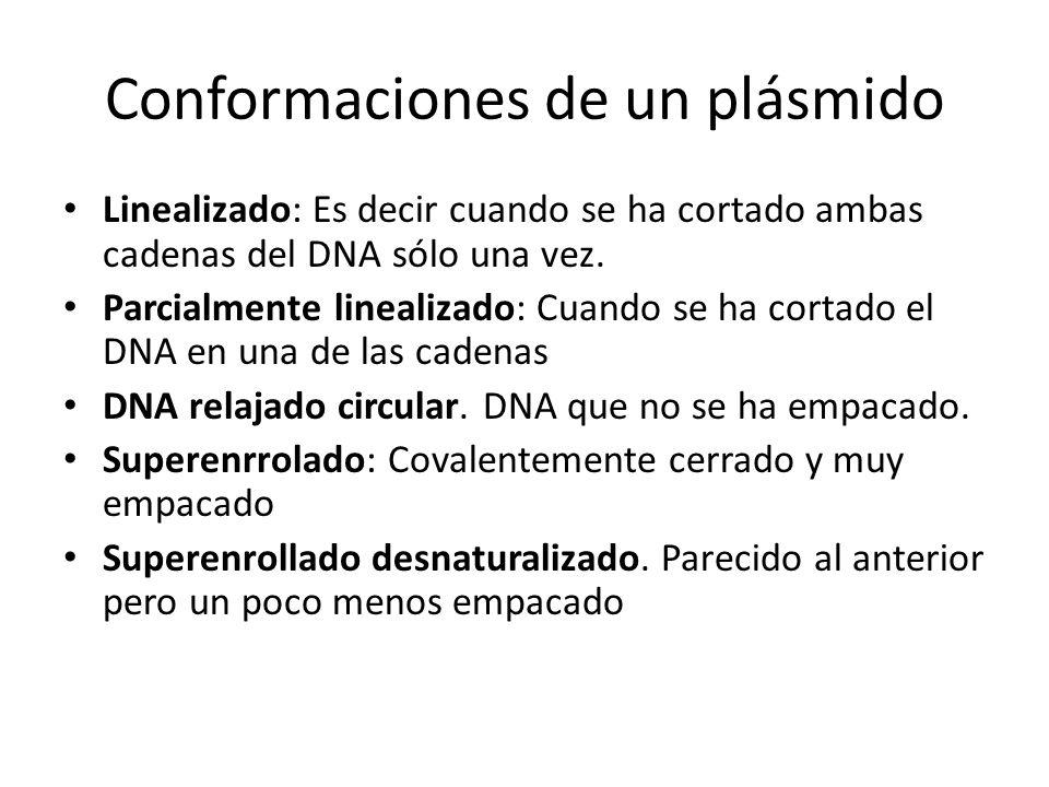 Conformaciones de un plásmido Linealizado: Es decir cuando se ha cortado ambas cadenas del DNA sólo una vez. Parcialmente linealizado: Cuando se ha co