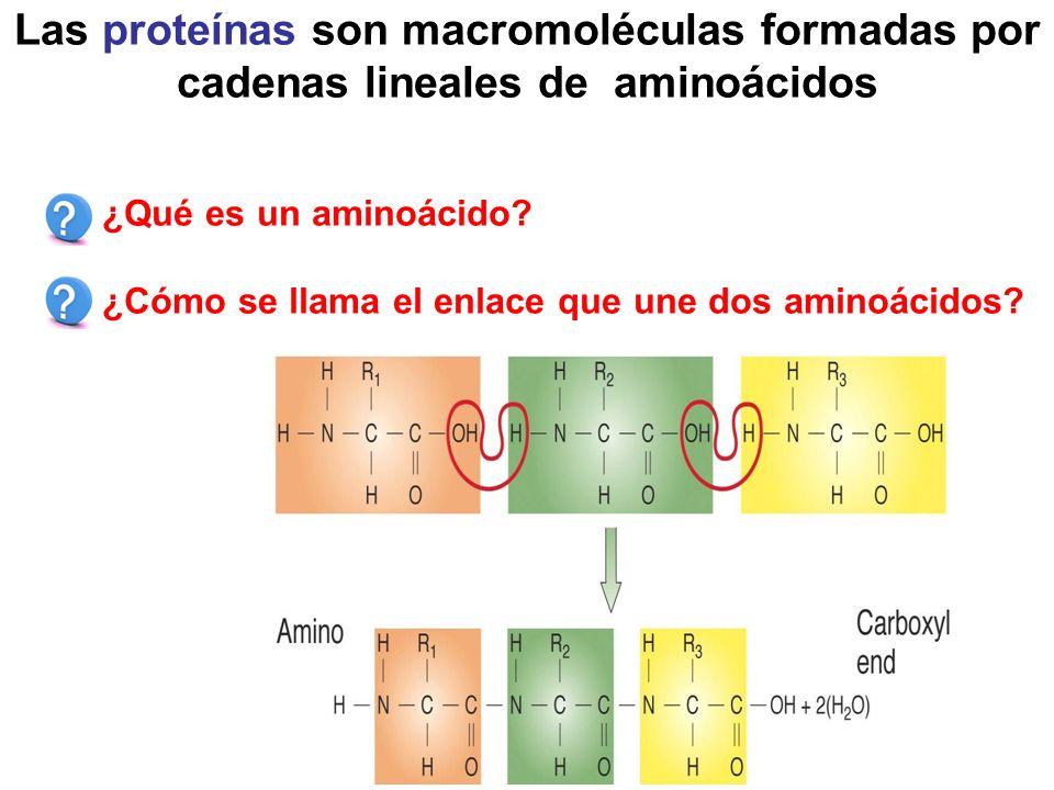 Las proteínas son macromoléculas formadas por cadenas lineales de aminoácidos ¿Qué es un aminoácido.