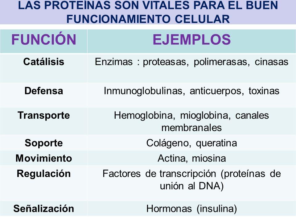 LAS PROTEÍNAS SON VITALES PARA EL BUEN FUNCIONAMIENTO CELULAR FUNCIÓNEJEMPLOS CatálisisEnzimas : proteasas, polimerasas, cinasas DefensaInmunoglobulinas, anticuerpos, toxinas TransporteHemoglobina, mioglobina, canales membranales SoporteColágeno, queratina MovimientoActina, miosina RegulaciónFactores de transcripción (proteínas de unión al DNA) SeñalizaciónHormonas (insulina)