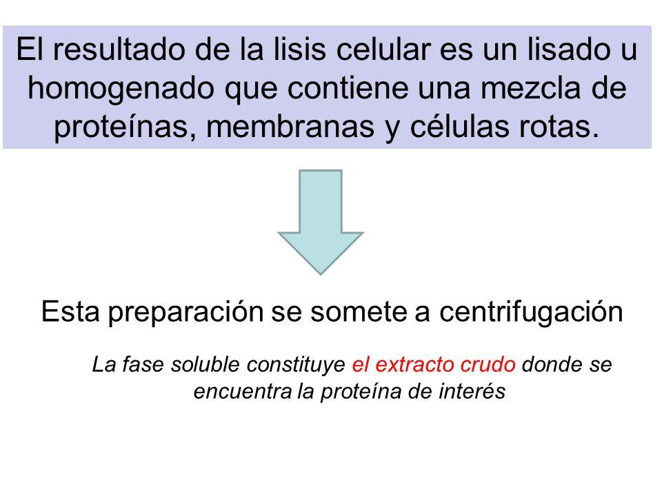 El resultado de la lisis celular es un lisado u homogenado que contiene una mezcla de proteínas, membranas y células rotas. Esta preparación se somete