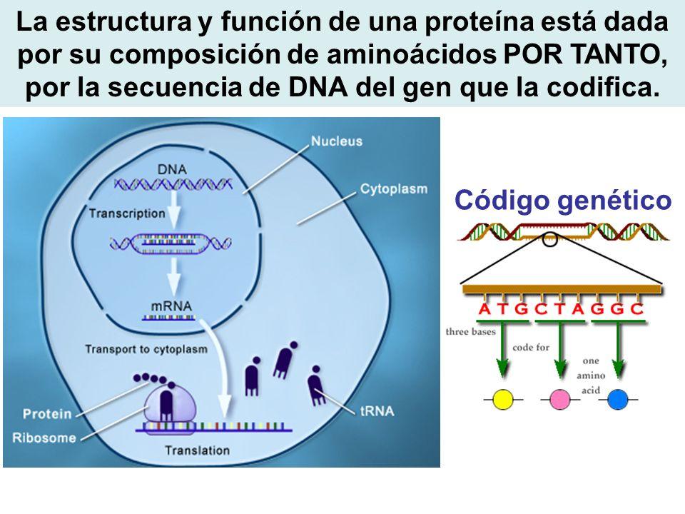 La estructura y función de una proteína está dada por su composición de aminoácidos POR TANTO, por la secuencia de DNA del gen que la codifica. Código