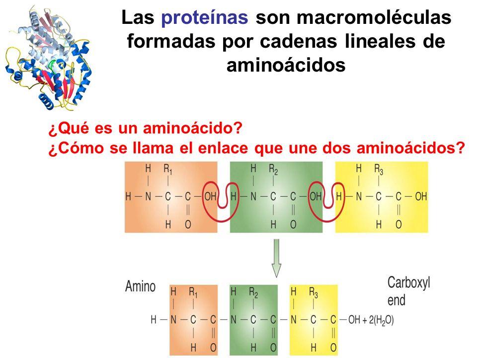 Las proteínas son macromoléculas formadas por cadenas lineales de aminoácidos ¿Qué es un aminoácido? ¿Cómo se llama el enlace que une dos aminoácidos?