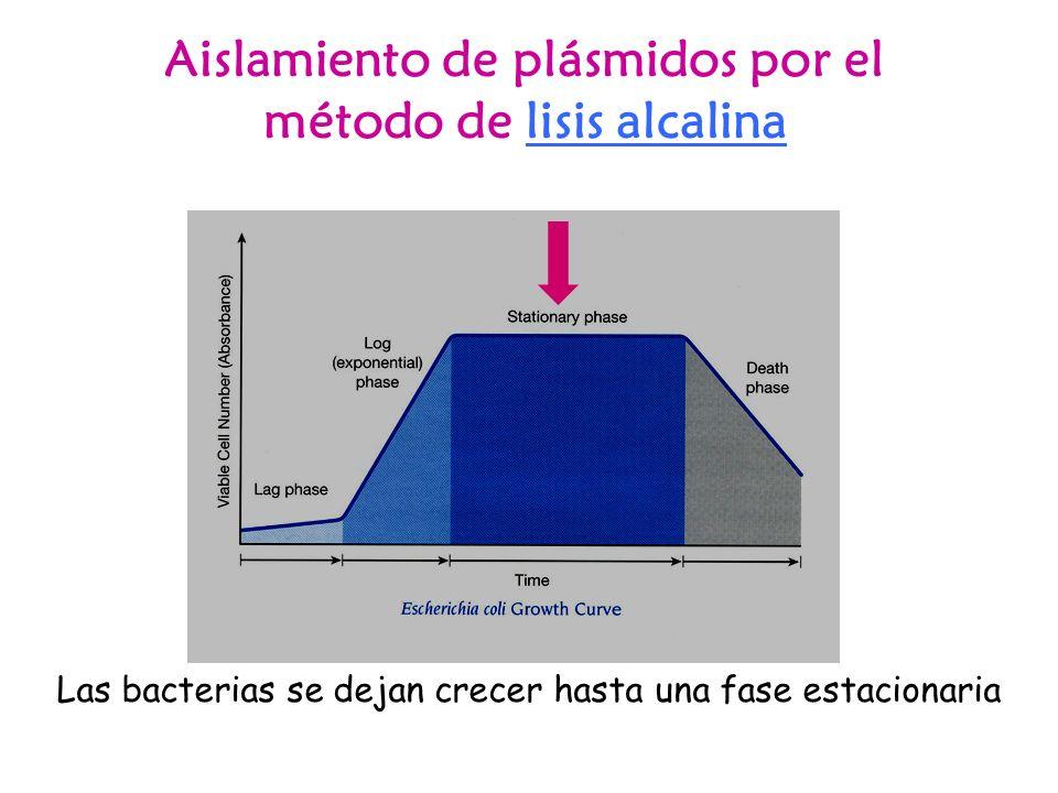 Aislamiento de plásmidos por el método de lisis alcalina Las bacterias se dejan crecer hasta una fase estacionaria