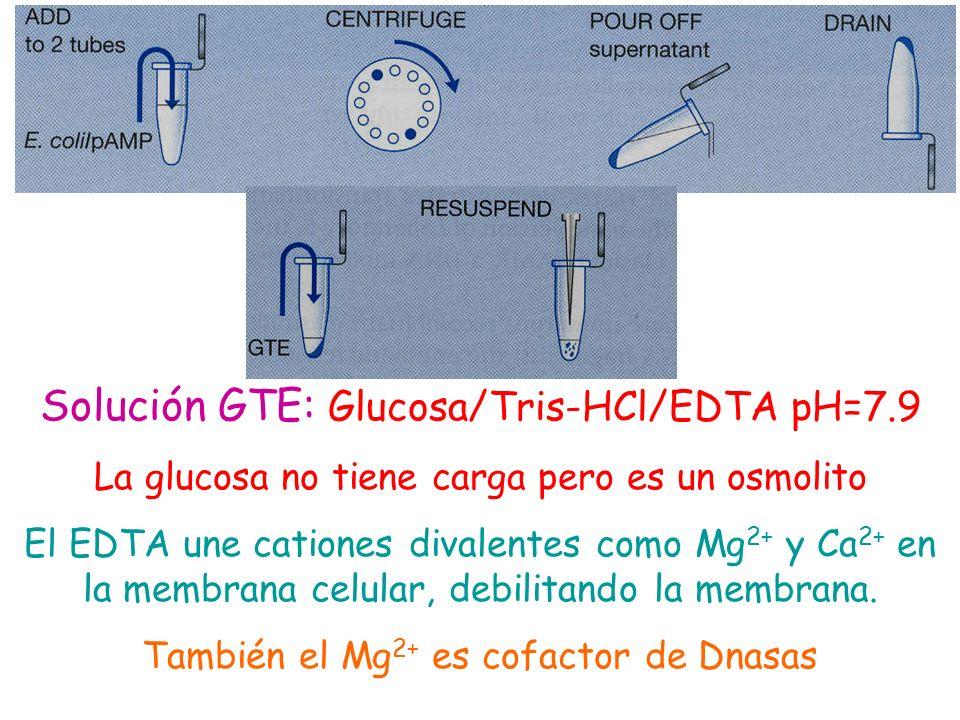 Solución GTE: Glucosa/Tris-HCl/EDTA pH=7.9 La glucosa no tiene carga pero es un osmolito El EDTA une cationes divalentes como Mg 2+ y Ca 2+ en la memb