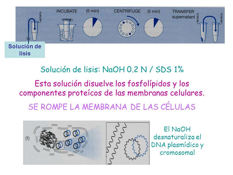 Solución de lisis: NaOH 0.2 N / SDS 1% Esta solución disuelve los fosfolípidos y los componentes proteícos de las membranas celulares. SE ROMPE LA MEM